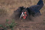 Southern Ground Hornbill (Bucorvus cafer) dusting itself on the ground to clean feathers of parasites.  (Synonym with Bucorvus leadbeateri).Kruger National Park, South Africa.