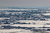 Jagged ice ridges in the sea ice in the Bering Sea in springtime.