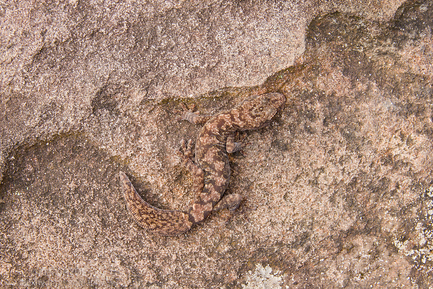 Fat-tailed Diplodactylus / Fat-tailed gecko (Diplodactylus conspicillatus), camouflaged on rock. New South Wales, Australia.