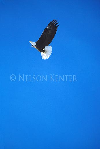 Bald Eagle soaring through blue Montana sky