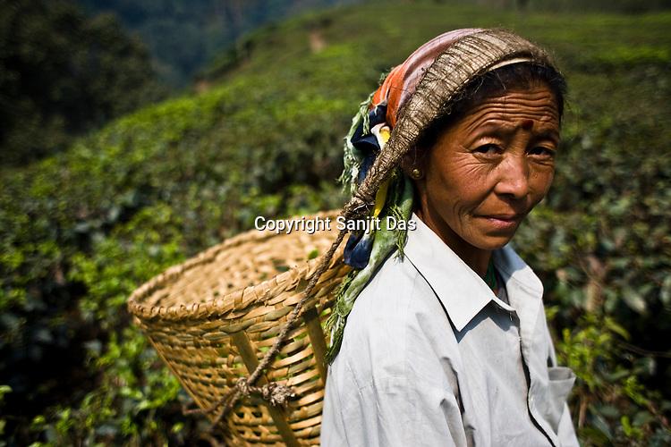 46 year old tea picker,Bina Rai poses for a photograph while plucking the first flush Darjeeling tea leaves at Makaibari Tea estate, Kurseong in Darjeeling, India.