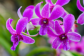 A close-up of purple orchids at the National Tropical Botanical Garden, Kaua'i.
