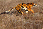 Tiger running in grass. (captive)