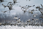 Sandhill cranes, Bosque del Apache National Wildlife Refuge, New Mexico, USA