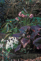 Helleborus hybridus spotted, pink blooms, with Bergenia Bressingham Ruby foliage &amp; Scilla mischtschenkoana bulbs in flower combination