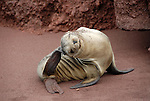 Galapagos mammals