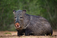 650520297 a wild javelina or collared peccary dicolytes tajacu rests near a waterhole on santa clara ranch in starr county rio grande valley texas united states