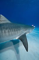 RW4053-D. Tiger Shark (Galeocerdo cuvier), large and dangerous species, usually solitary though may aggregate around food source such as dead whale. Life span thought to be 45-50 years. Varied diet, from birds to turtles to fish to marine mammals. Bahamas, Atlantic Ocean.<br /> Photo Copyright &copy; Brandon Cole. All rights reserved worldwide.  www.brandoncole.com