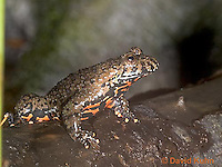 1216-07nn  Oriental Fire Bellied Toad - Bombina orientalis - © David Kuhn/Dwight Kuhn Photography.
