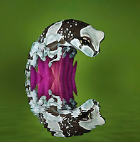 Milk Frog and reflection (Trachycephalus resinifictrix)
