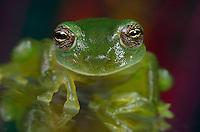 Fleischmann's Glass Frog(Hyalinobatrachium fleischmanni), Costa Rica.