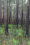 A control burn has cleared out the underbrush in this pine forest.  The ferns are coming back with a vengence.
