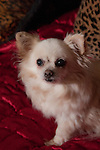 Chihuahua luxury, rich, pampered