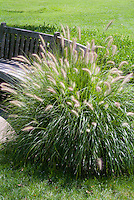 Pennisetum alopecuroides 'Hameln' dwarf fountain grass, ornamental grass, in flower with garden bench seat