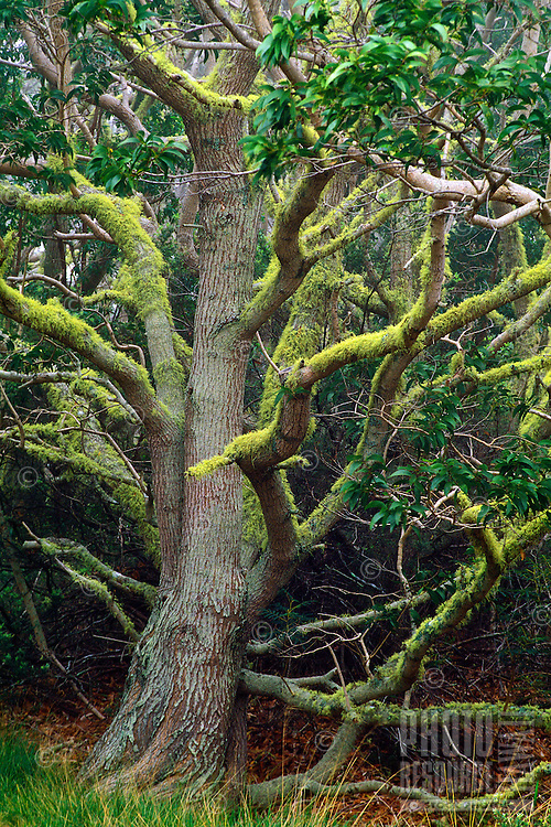 A large koa tree (acacia koa) with moss covered branches stands majestically in a koa forest on the Big Island of Hawaii. Koa wood has traditionally been esteemed by native Hawaiians from canoes to decorative uses.