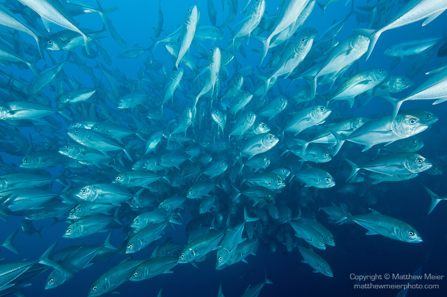 Cocos Island, Costa Rica; a massive, polarized school of Bigeye Jack (Caranx sexfasciatus) fish swimming in the blue water of the open ocean