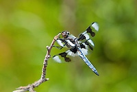389340003 a wild male eight-spotted skimmer libellula forensis perches on a dead twig in fish slough mono county callifornia