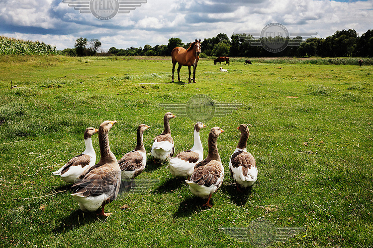 A flock of geese walking towards a horse grazing in a field.