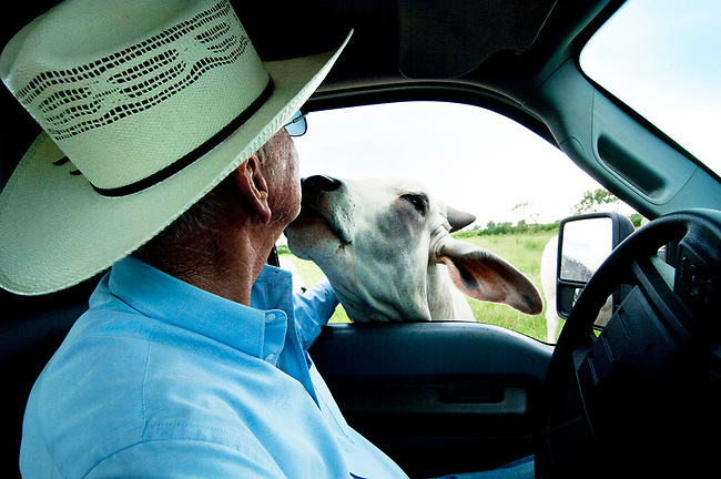 A cattle rancher gets a kiss from a Brahman cow in Ocala, Florida.  Brahman cattle are raised and bred with other beef cattle for the meat industry.