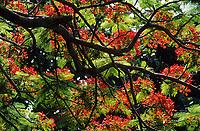 Europe/France/DOM/Antilles/Petites Antilles/Guadeloupe/Env de Bouillante : Forêt tropicale - Albizia