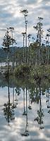 Kahikatea trees at Lake Wahapo, Westland Tai Poutini National Park, West Coast, UNESCO Wolrd Heritage Area, New Zealand, NZ