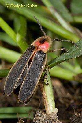 1C24-662z  Pyralis Firefly Female laying eggs at soil surface - Lightning Bug - Photinus spp.