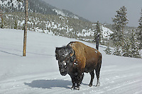 (m) Bison (Bison bison) on snow covered road, along Madison River, Yellowstone National Park, Winter, Wyoming, United States of America.