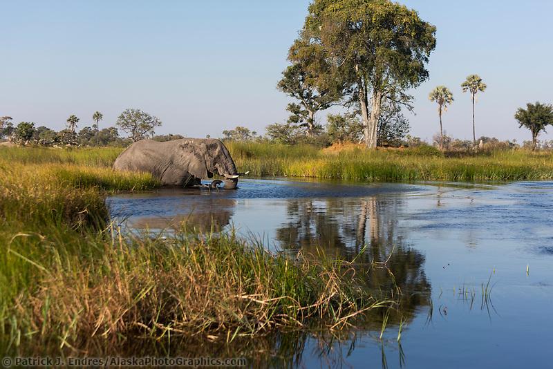Elephant crosses waterway in the Okovango Delta, Botswana, Africa