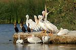 White Pelican Yawn, Pelicans and Cormorants, American White Pelican, Sepulveda Wildlife Refuge, Southern California