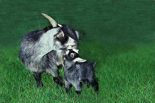 Mother and baby Pygmy goats affectionately rubbing in field of grass