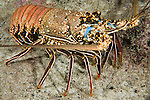 Cocos Island, Costa Rica; a Pronghorn Spiny Lobster (Panulirus penicillatus) walking over the rocky reef at night