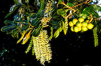 Macadamia nuts and blossoms on tree