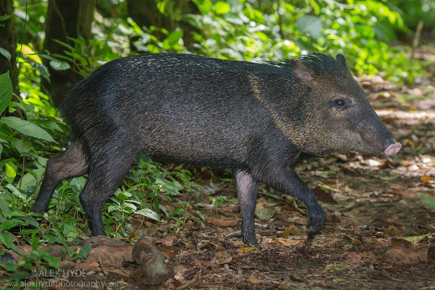 Collared Peccary (Tayassu tajacu) Corcovado National Park, Osa Peninsula, Costa Rica, May.