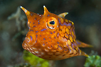Juvenile longhorn boxfish, Lembeh Strait, Sulawesi, Indonesia. The Lembeh Strait in N Sulawesi is famous for its unusually high marine biodiversity, particularly of unusual animals that live on the exposed sand areas.