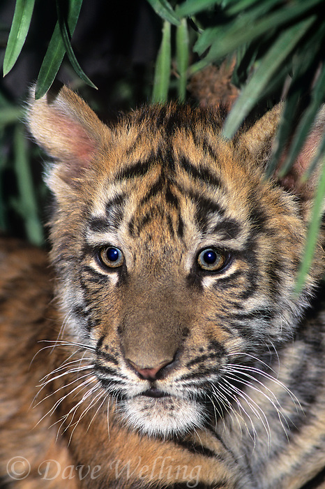 683999149 a captive bengal tiger cub panthera tigris stares out from protective shrubbery and this animal is a wildlife rescue