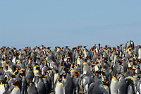 The King Penguin (Aptenodytes patagonicus) is highly gregarious at the breeding colonies, Falkland Islands.