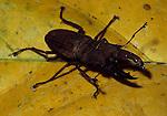 Stag Beetle, Family: Lucanidae, Sabah Borneo, on rainforest floor, .Borneo....