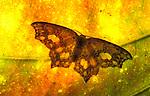 Moth on leaf, backlight pattern Mt Kinabalu, Sabah, Borneo.Borneo....