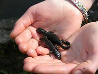 Bergmolch, Alpenmolch, Berg-Molch, Alpen-Molch, Molch, Molche in Kinderhand, Kind hat Molche in kleinem Tümpel gefangen und beobachtet sie, Ichthyosaura alpestris, Triturus alpestris, alpine newt