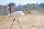 Whooping Crane With Radio Transmitter