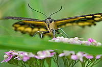 390410060 a captive giant swallowtail papilo cresphontes perches on a flower at the butterfly pavilion at the santa barbara museum of natural history santa barbara california united states