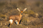 Steenbok, Raphicerus campestris, Karoo National Park, South Africa
