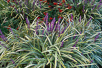 Ophiopogon and variegated liriope ground cover