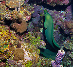 Green moray eel (Gymnothorax funebris) on reef; West End, Roatan, Honduras.