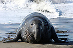 Northern Elephant Seal (Mirounga angustirostris). Young bull coming ashore. Piedras Blancas. Near Cambria, San Luis Obispo Co., Calif.