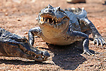 South America, Brazil, Pantanal.  A few caiman ashore at teh riverbank in the Caiman Ecological Reserve of the Pantanal.