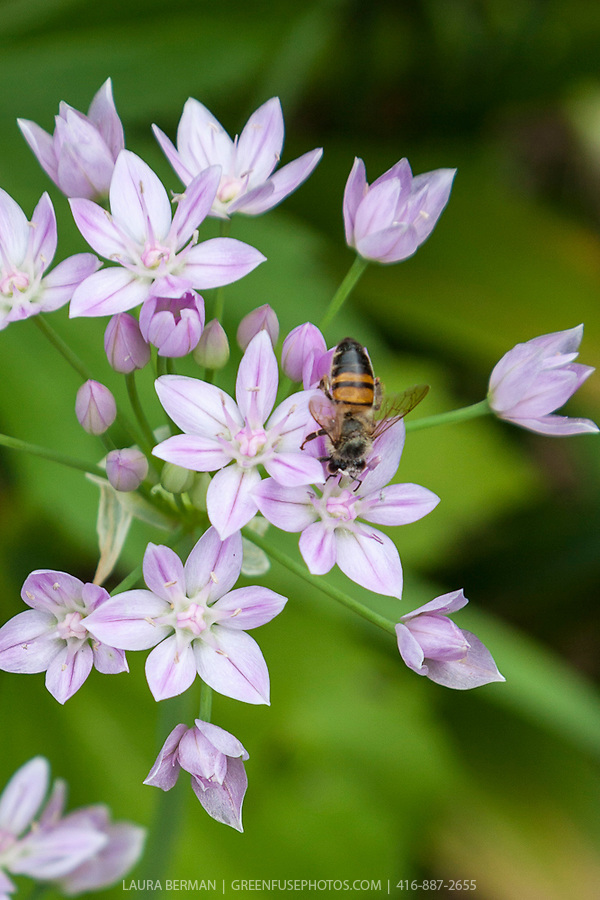 Honey bee on an allium flower.