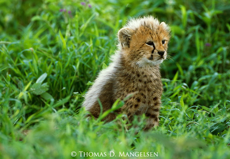 A ten-week-old cheetah cub waits for his mother to return from her hunt in Serengeti National Park, Tanzania.
