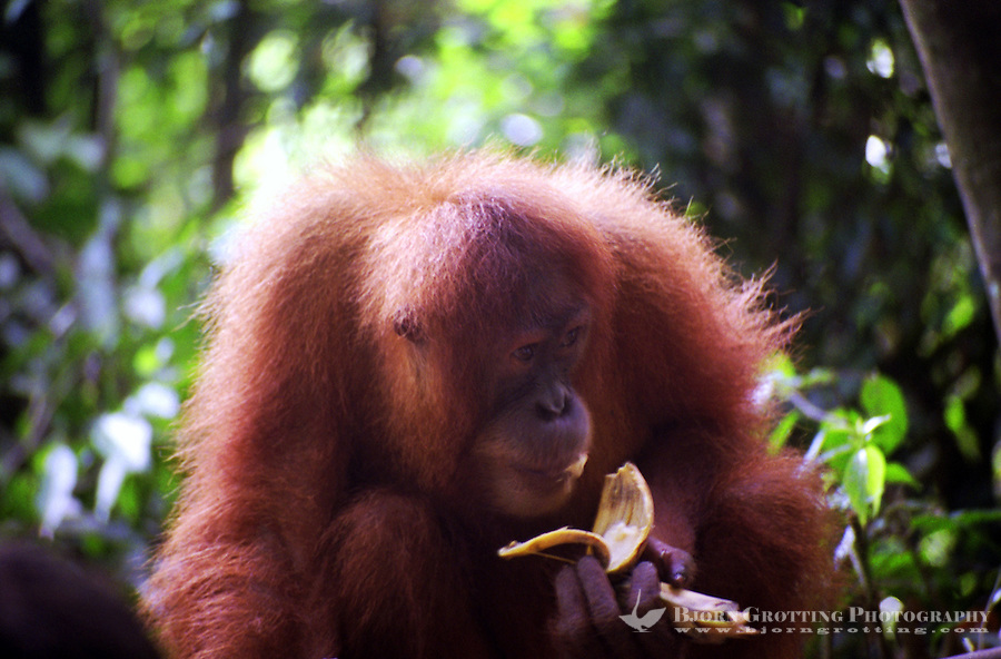 Orangutan eating a banana in Bukit Lawang, Sumatra Indonesia. Bukit Lawang is a small tourist village at the bank of Bahorok River in North Sumatra province of Indonesia. Bukit Lawang is known for the largest animal sanctuary of Sumatran orangutan, around 5,000 orangutans occupy the area.