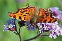 Comma butterfly (Polygonia c-album) on Verbena bonariensis, late September.
